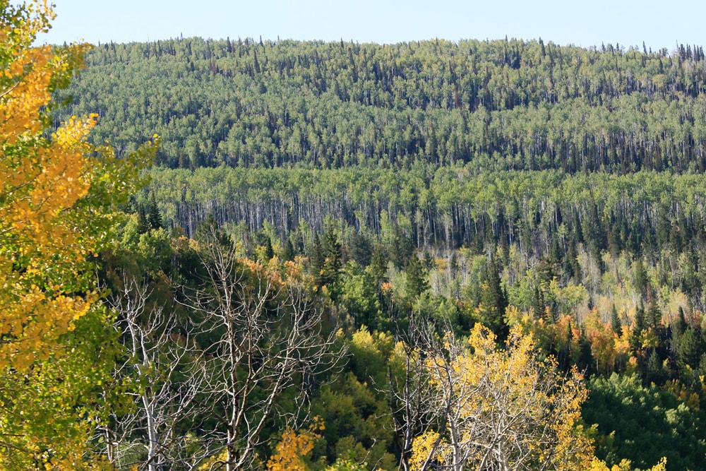 Fall Aspens dot the Pines