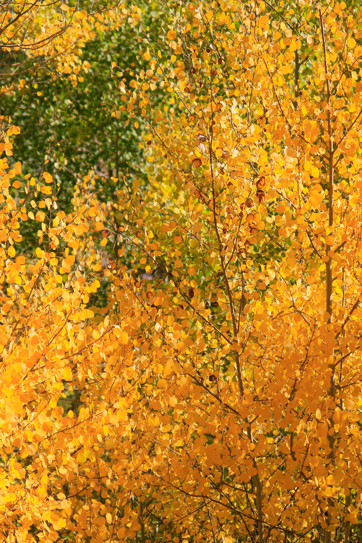 Beautiful mix of yellow and orange leaves in the aspen tree.