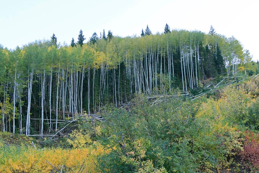 Tall, leggy aspen trunks on the mountain.