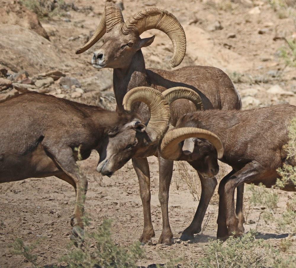3 Desert Bighorn Rams clashing