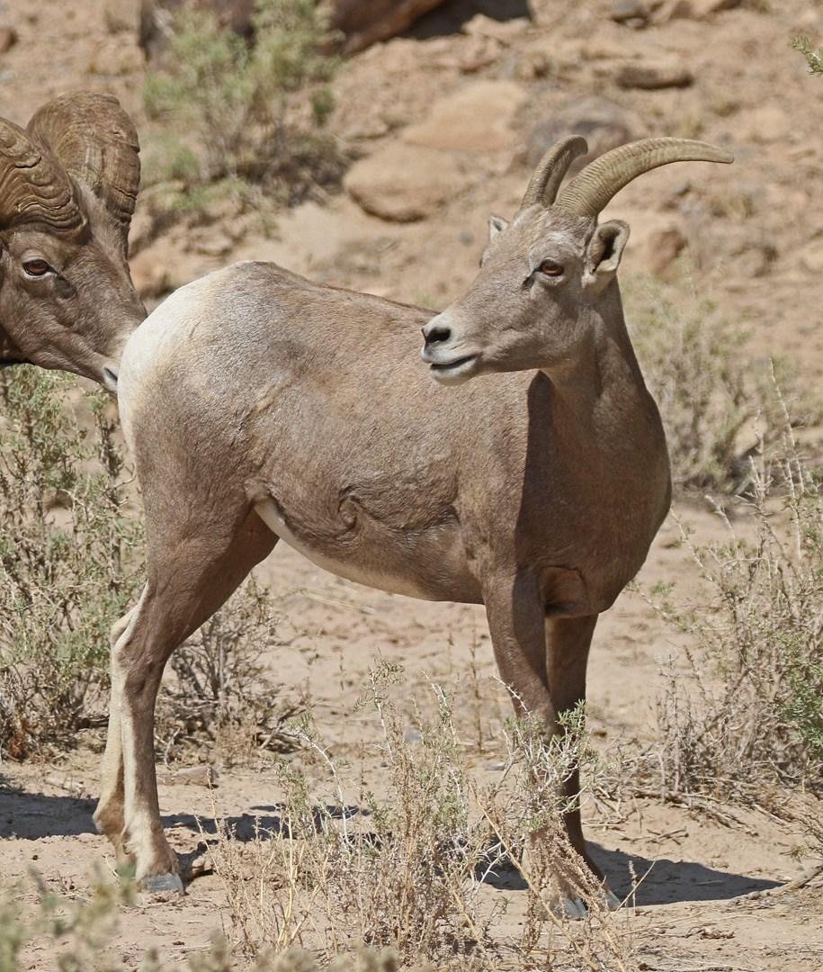 Desert Bighorn ewe.