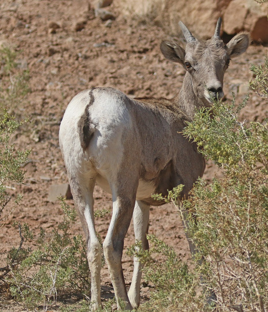 Young female Bighorn Sheep ewe