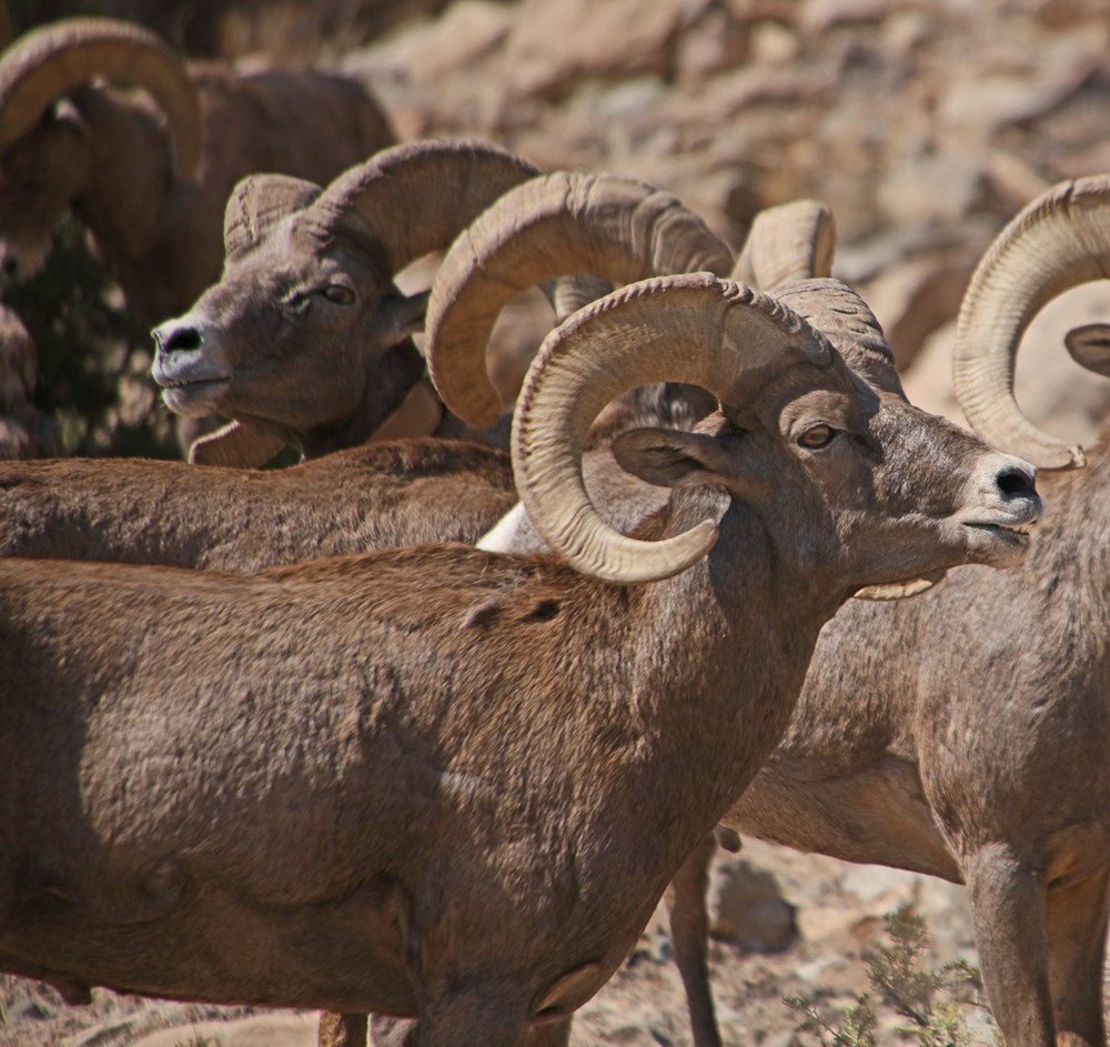 Bighorn Sheep rams posturing.