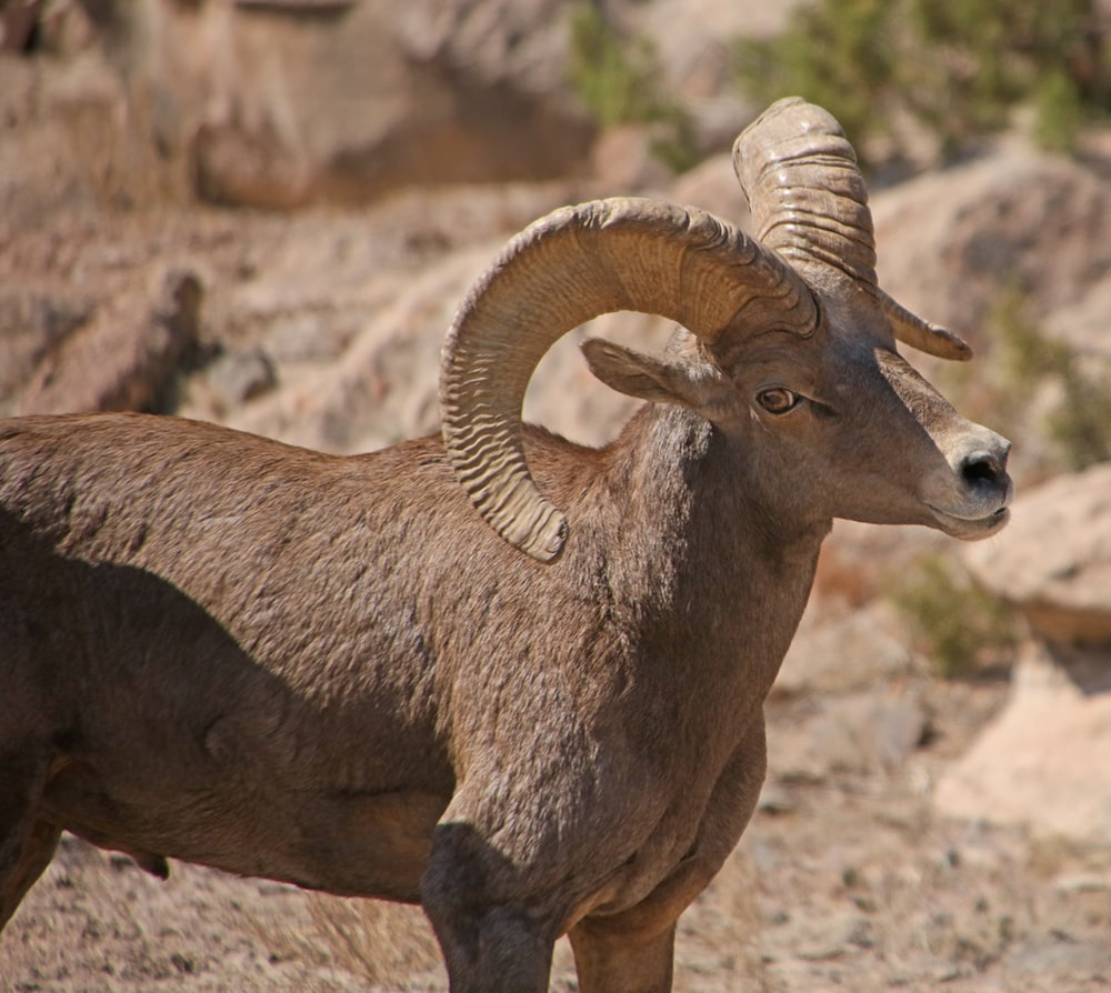 Desert Bighorn ram meaning business!