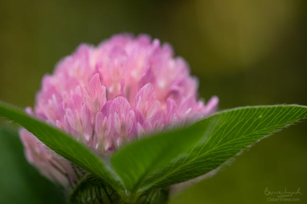 Red Clover flowerhead