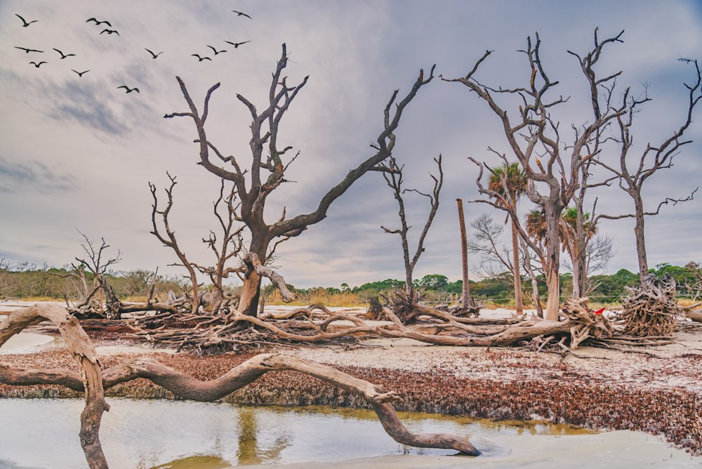 Stark trees and driftwood at Jekyll Island in Georgia with birds flying in the backtround