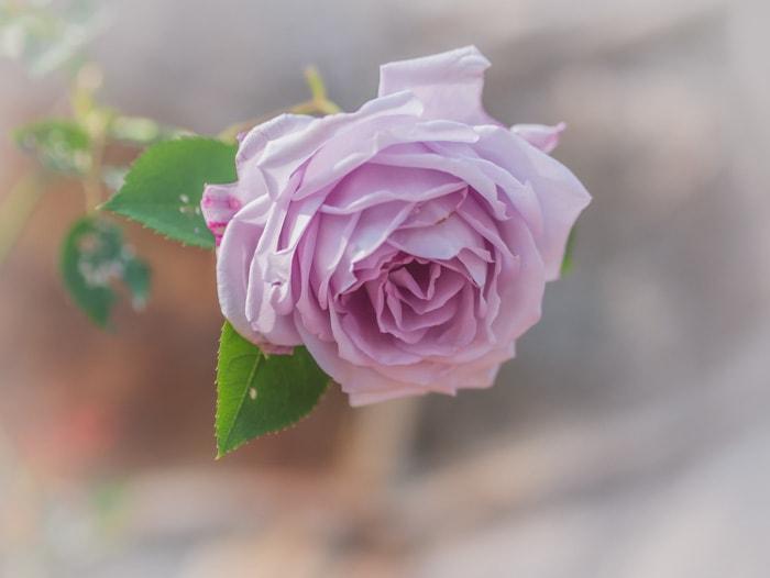A beautiful purple rose