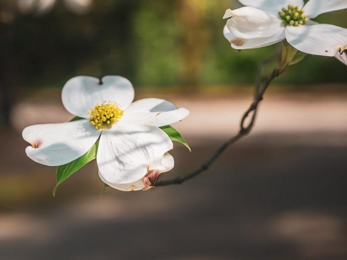 White Dogwood Flowers