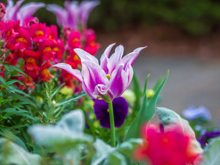 A beautiful purple and pink fringed tulip