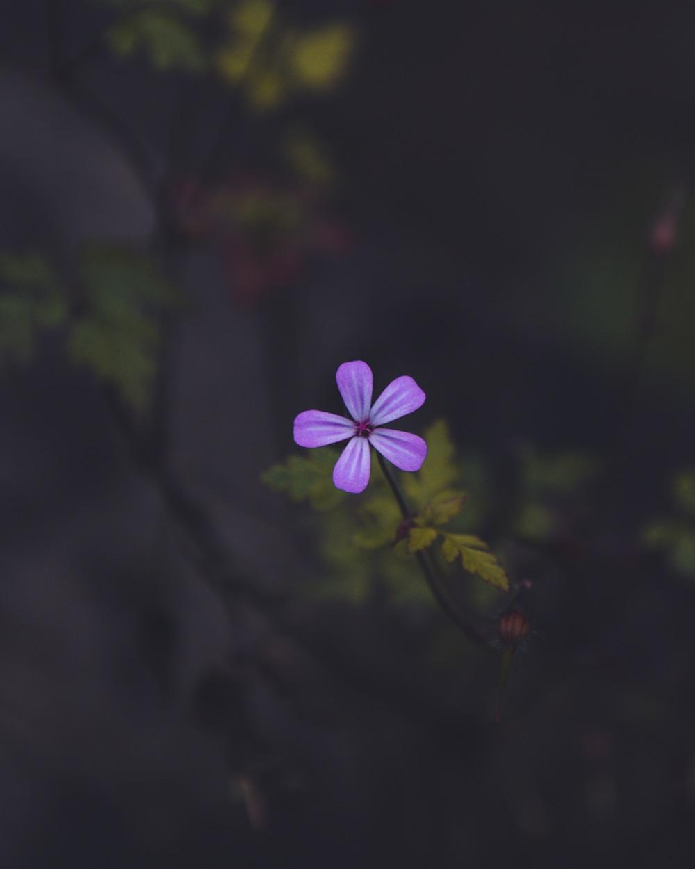 purple woodland phlox in deep shadow