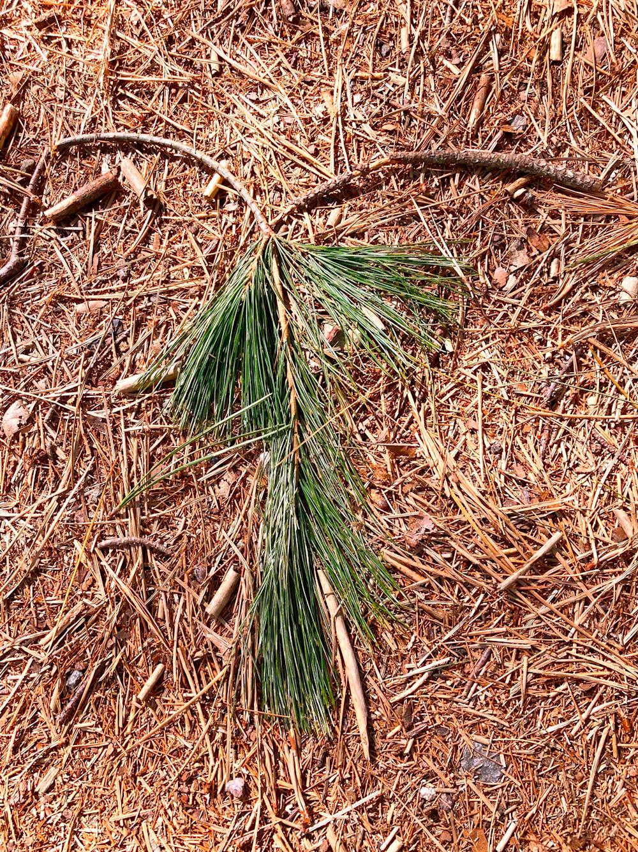 Portrait of a Pine