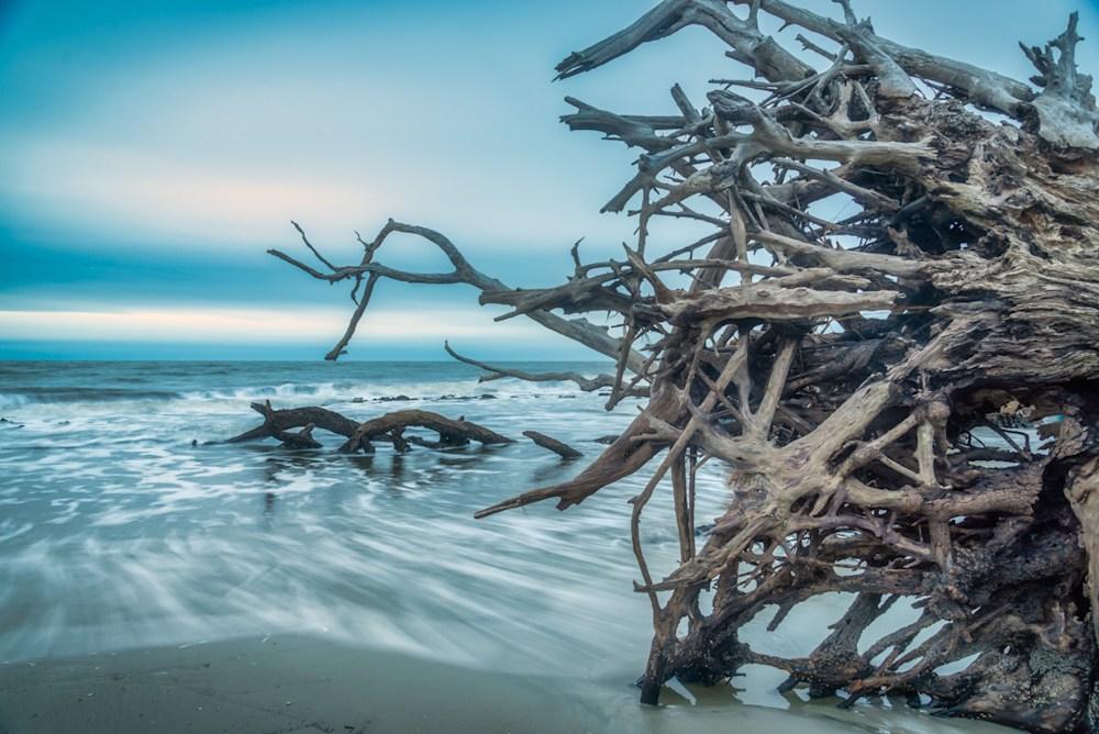 A beautiful driftwood tree on the beach at Jekyll Island in Georgia