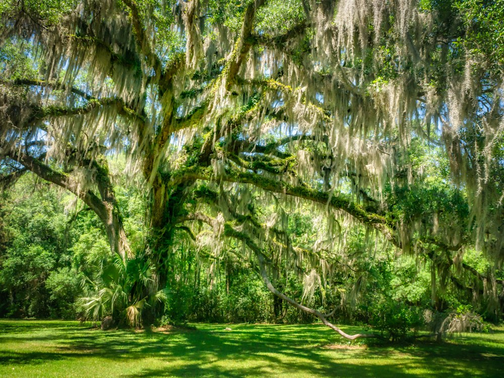 Photo of a gorgeous green tree with Spanish moss hanging from the limbs