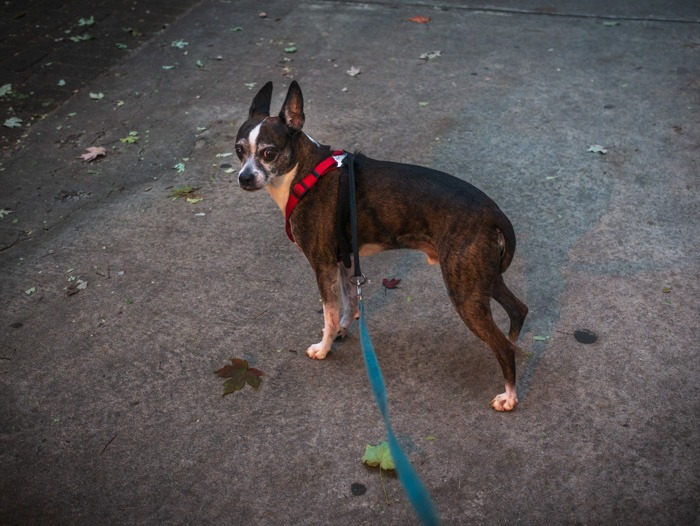 My sweet little brindle-colored dog - part Boston Terrier, part Chihuahua, and Jack Russell. His name is Jack Bauer.