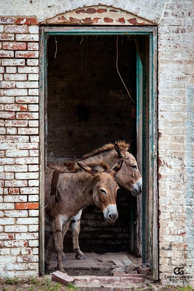 Ossabaw Sicilian Donkeys