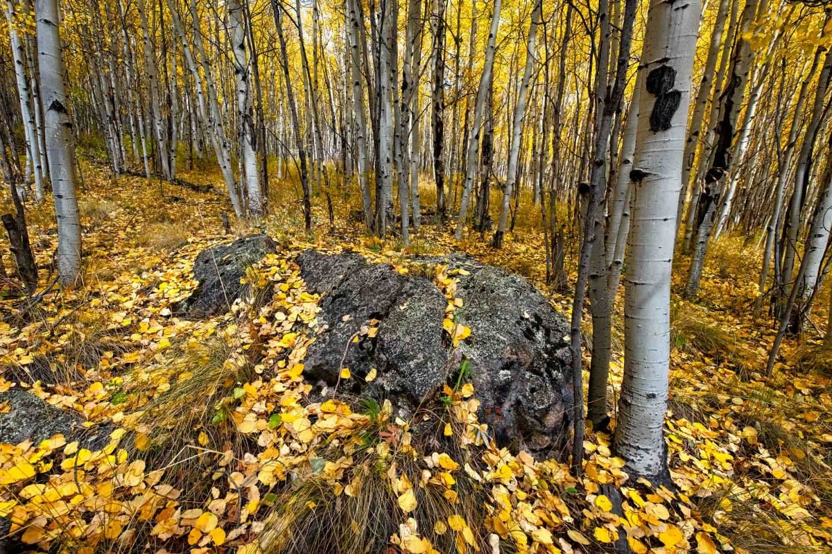 Aspen Carpet - Colorado aspen grove