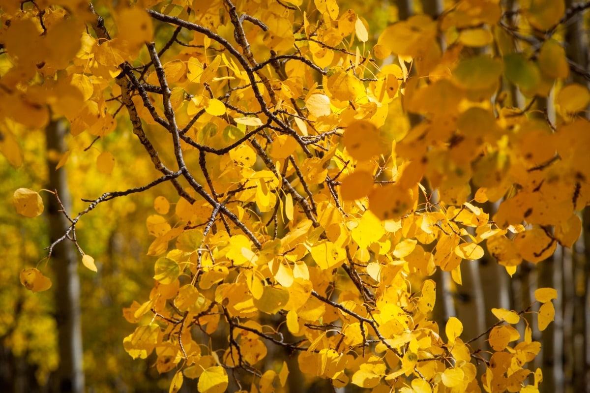Colorado tinsel - Aspen trees in fall colors