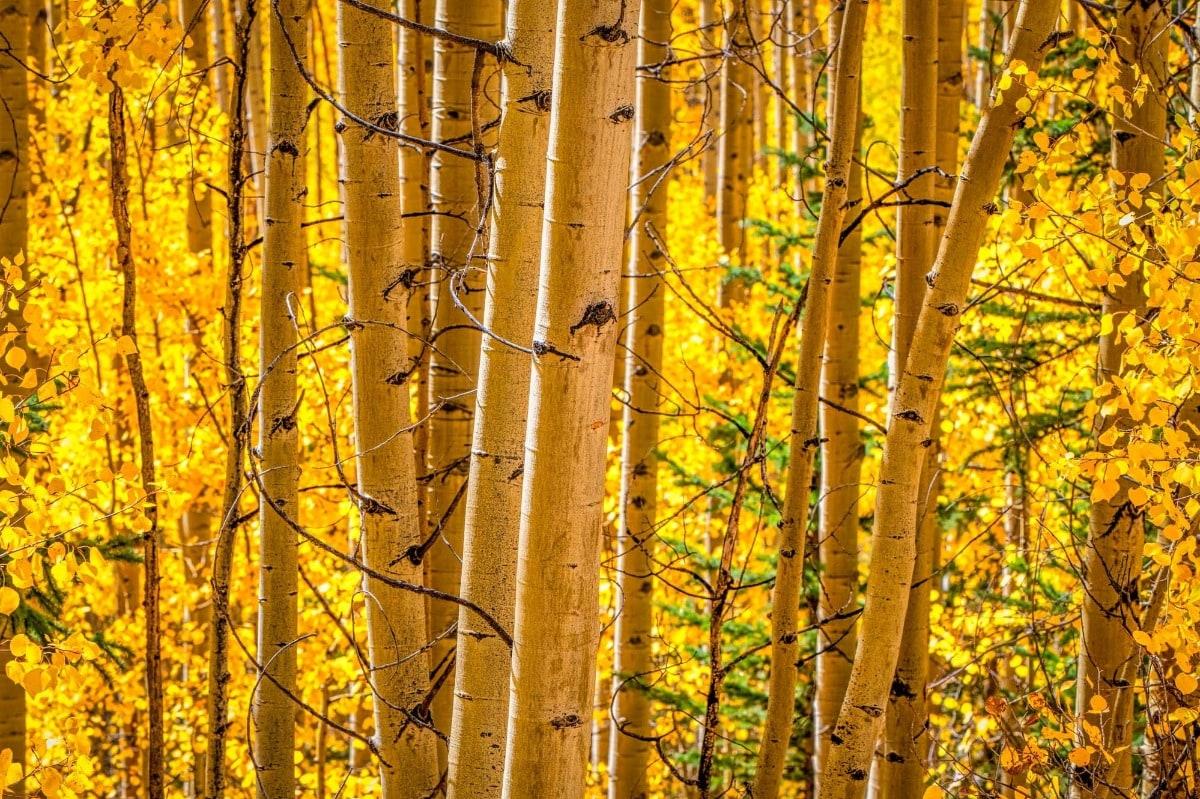 Colorado Glory - aspens in the fall