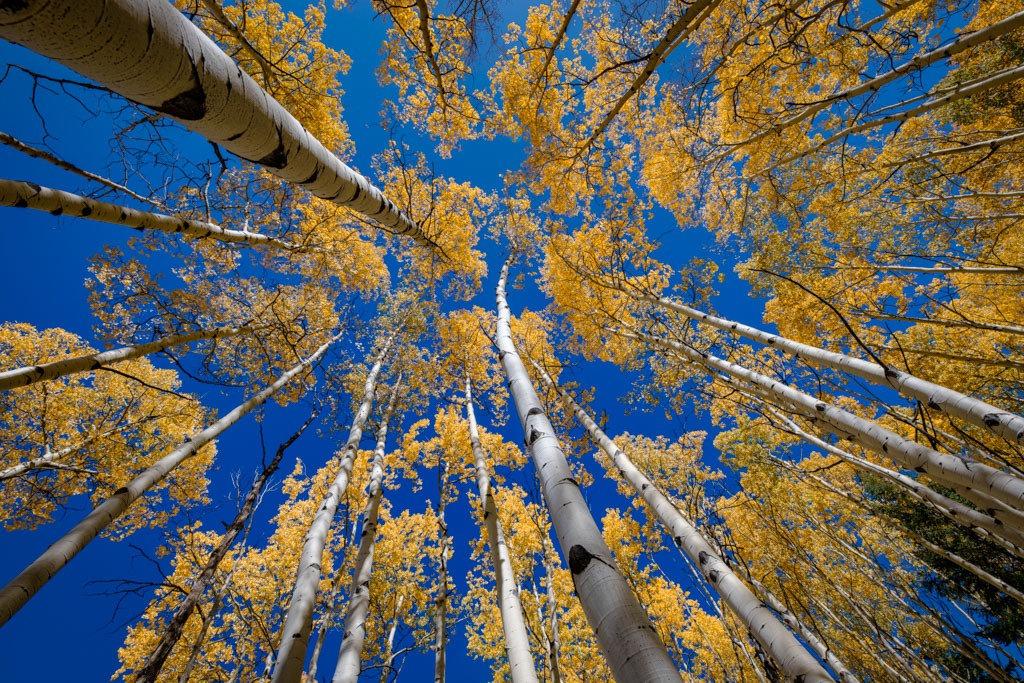 Autumn Reach - Colorado aspens in full fall color