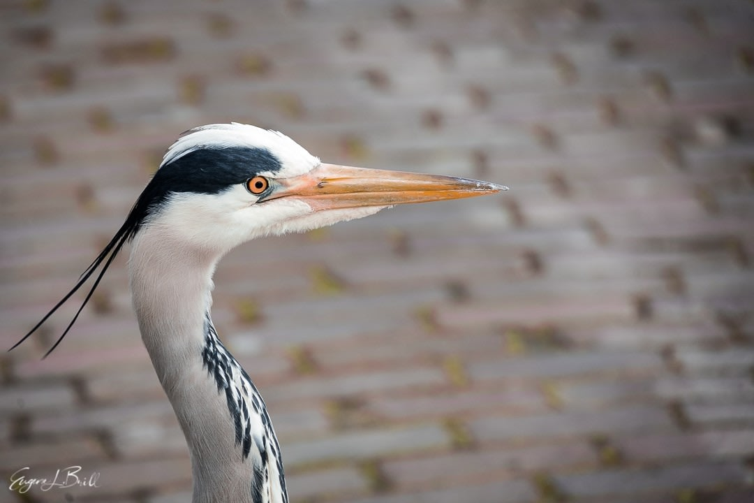 Great Blue Heron by Eugene Brill