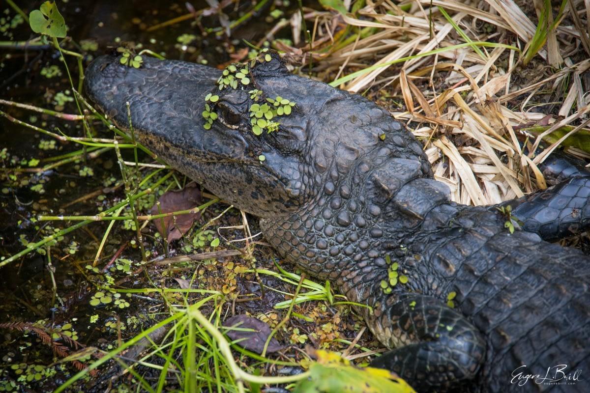Alligator by Eugene Brill