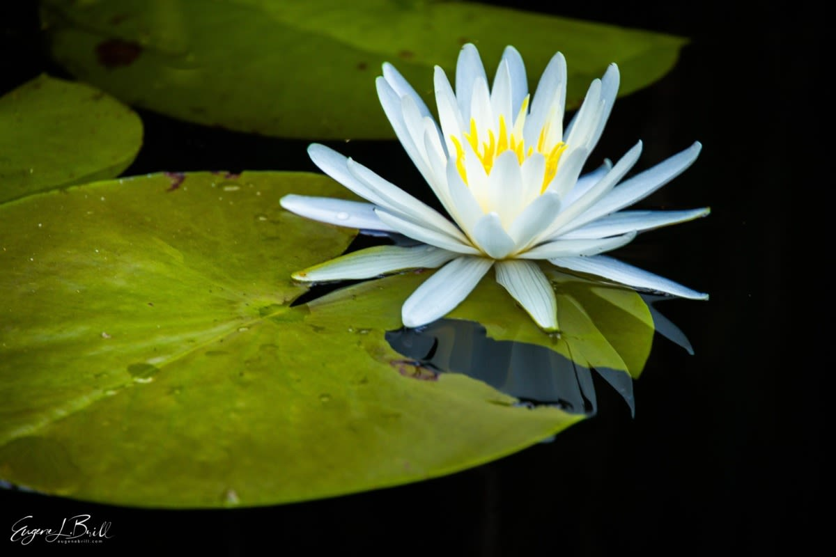 Water Lily by Eugene Brill