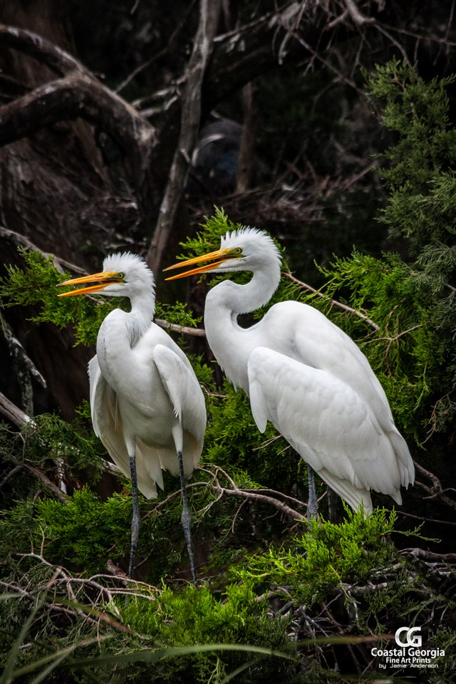 Juvenile Great Egrets