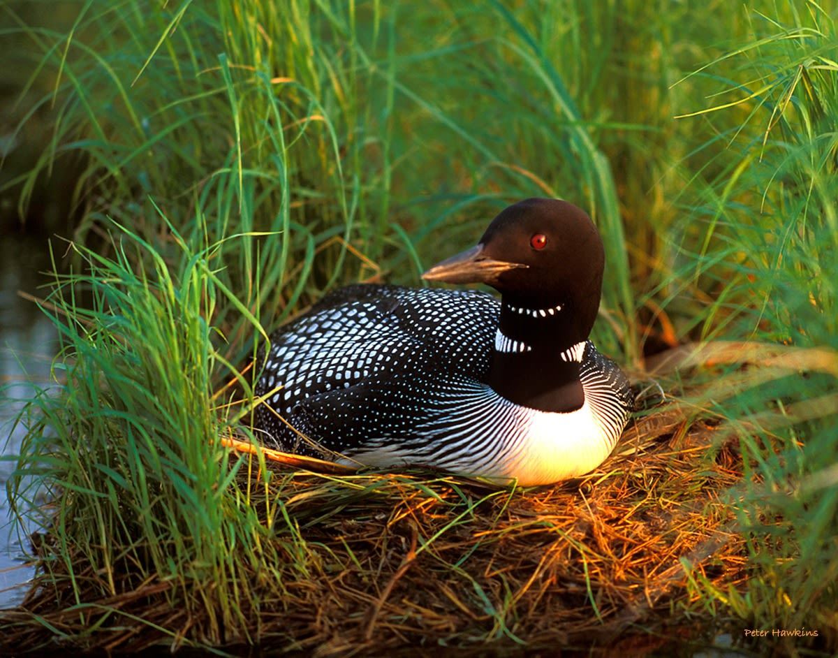 DP06 - Loon on nest