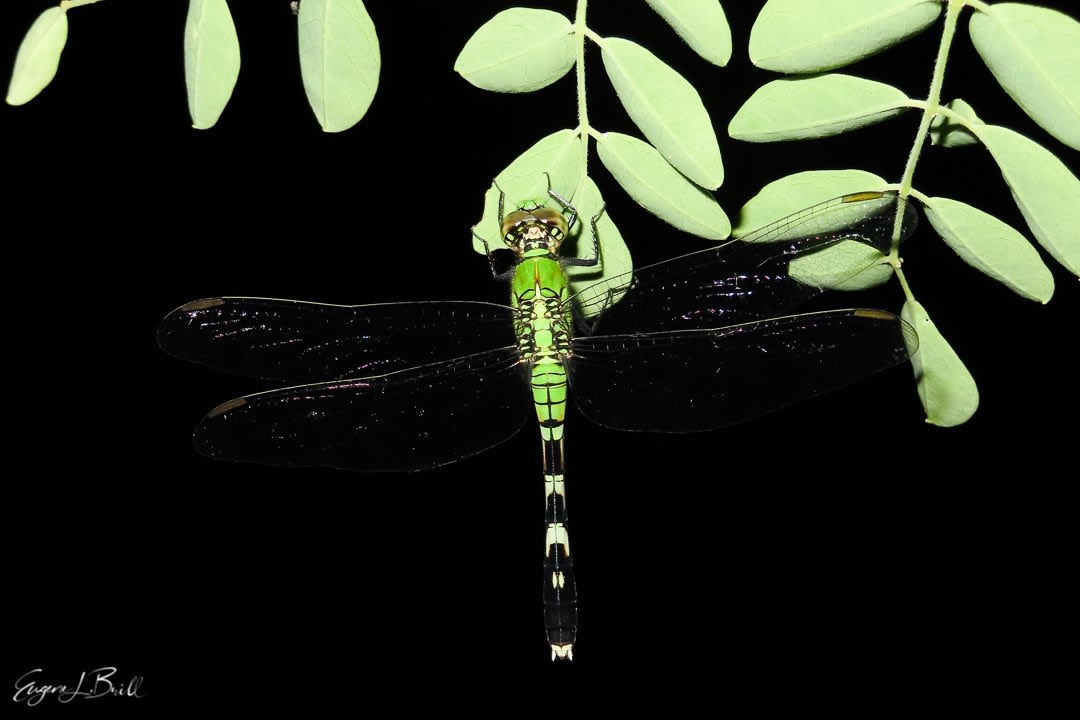 Dragonfly by Eugene Brill