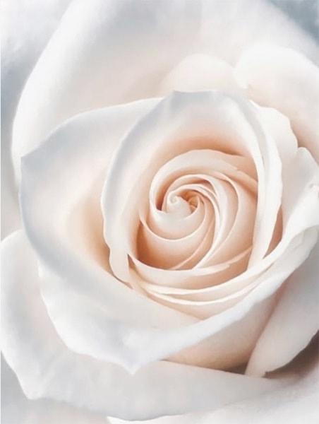 Mia's Rose