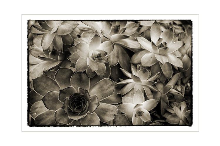 Succulent_flowers_towned_sjyfm6