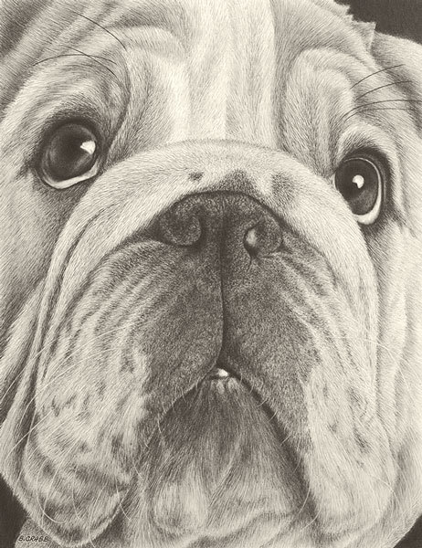 Bull dog pu7mgg