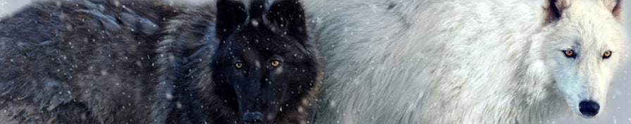 <div class='title'>           Wolves in Snow by Michele Taras         </div>                 <div class='description'>           Banner for blog article about Buying Art Online.  Wolves in Snow is a photograph that can be printed on canvas, fine paper, metal or acrylic.         </div>