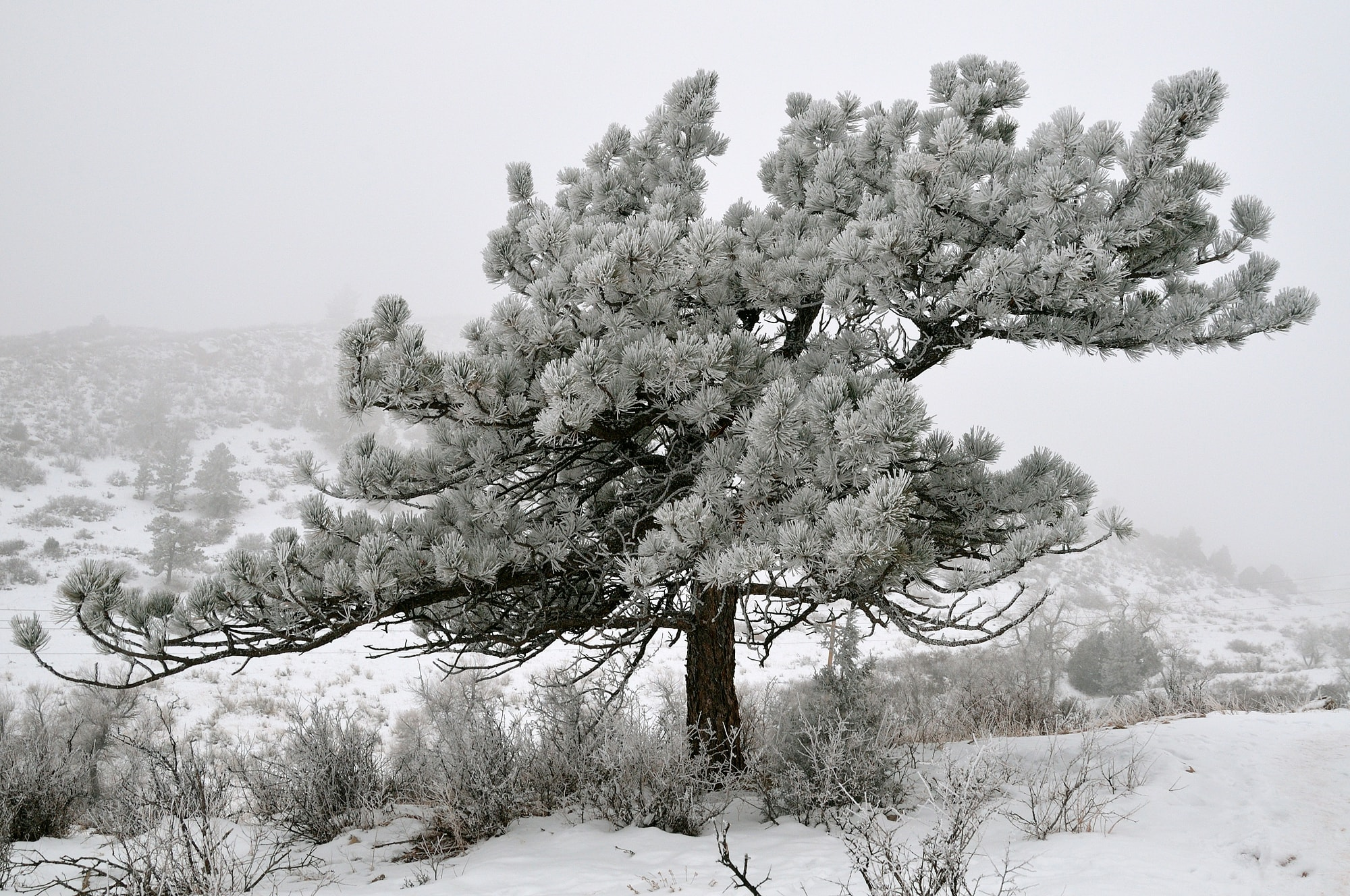 <div class='title'>           Frozen Ponderosa         </div>                 <div class='description'>           A ponderosa pine covered with rime ice, at Hall Ranch Open Space         </div>