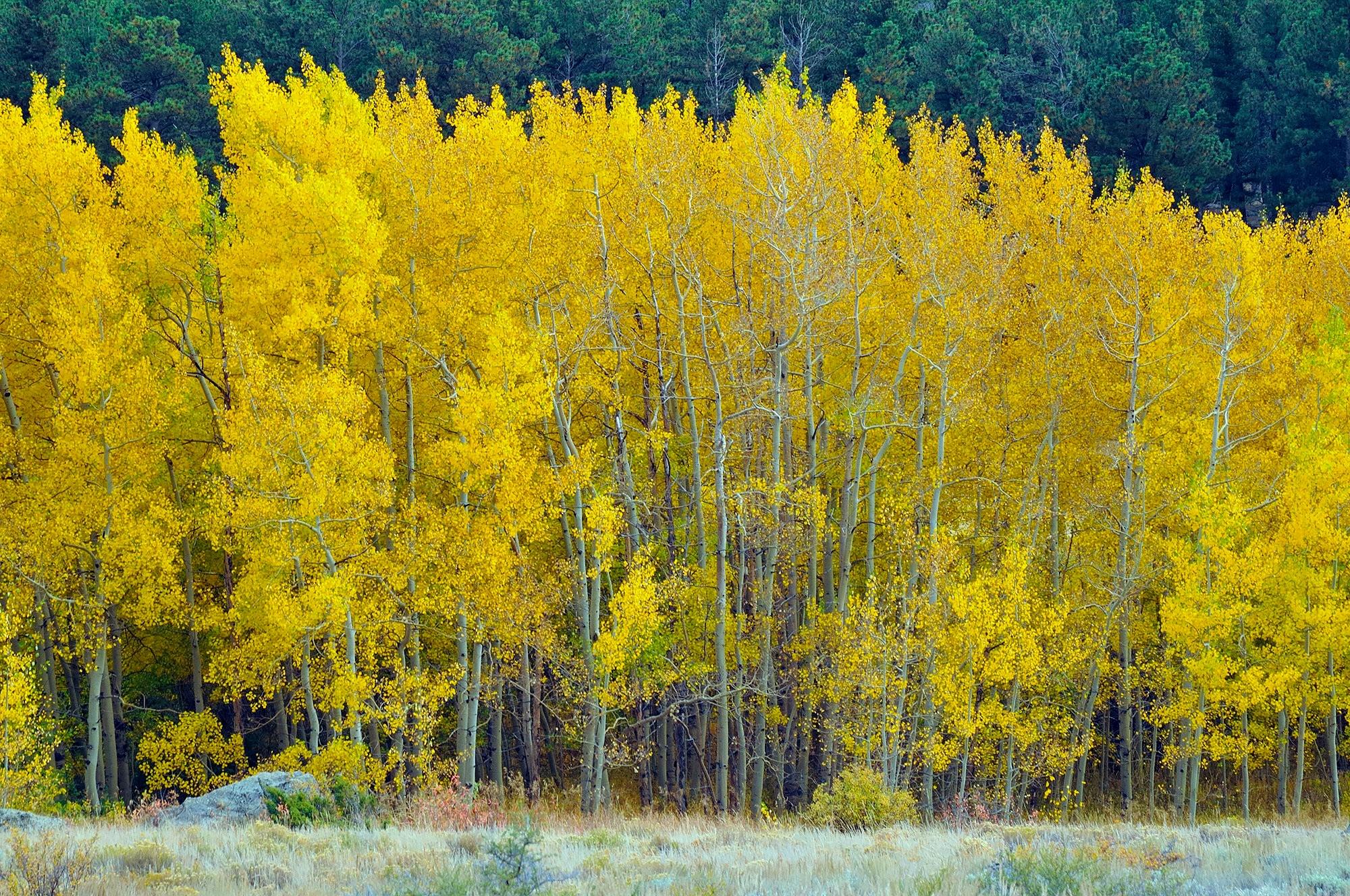 <div class='title'>           Aspen Grove in Upper Beaver Meadows         </div>                 <div class='description'>           Rocky Mountain National Park         </div>