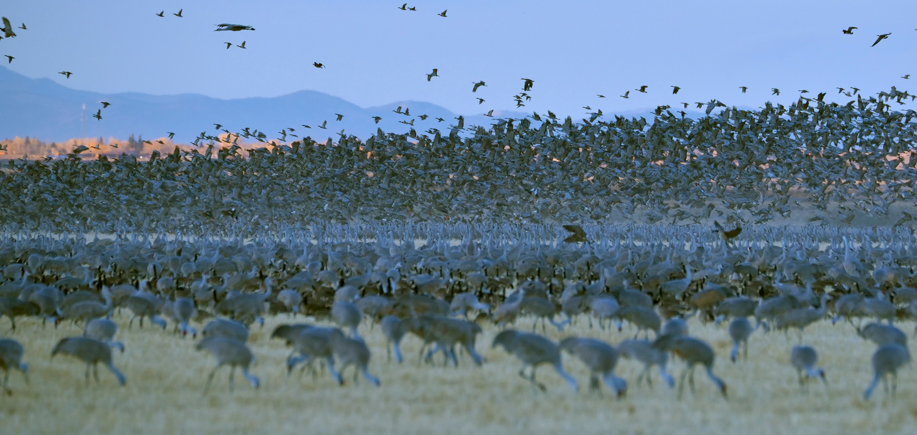 <div class='title'>           Sandhill Cranes         </div>                 <div class='description'>           A mass takeoff of Greater Sandhill Cranes         </div>