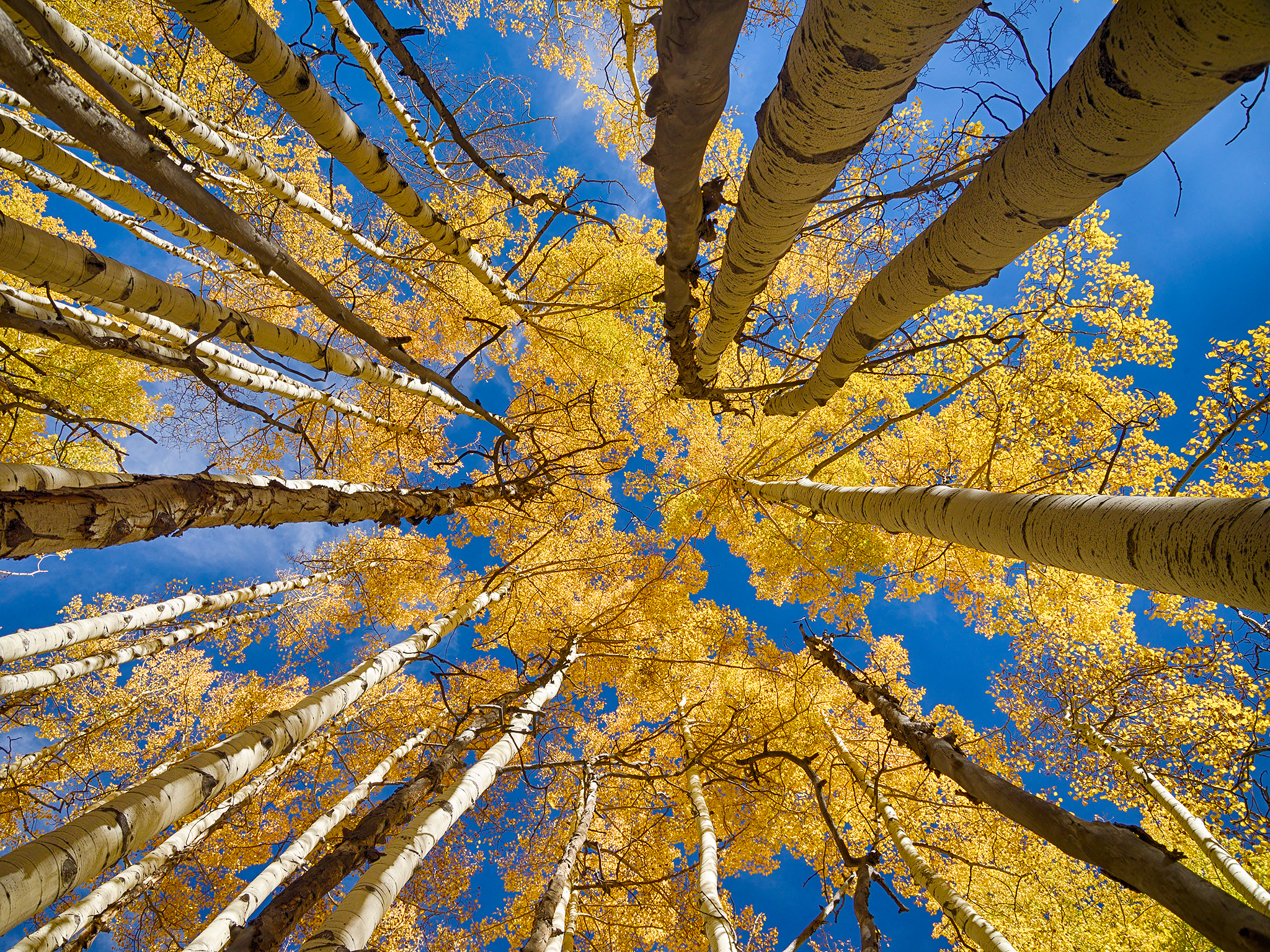 <div class='title'>           Among the Aspens         </div>                 <div class='description'>           An aspen forest reaches high overhead in this autumn scene found in Colorado's largest aspen grove, along the Kebler Pass Road in the Gunnison National Forest.         </div>