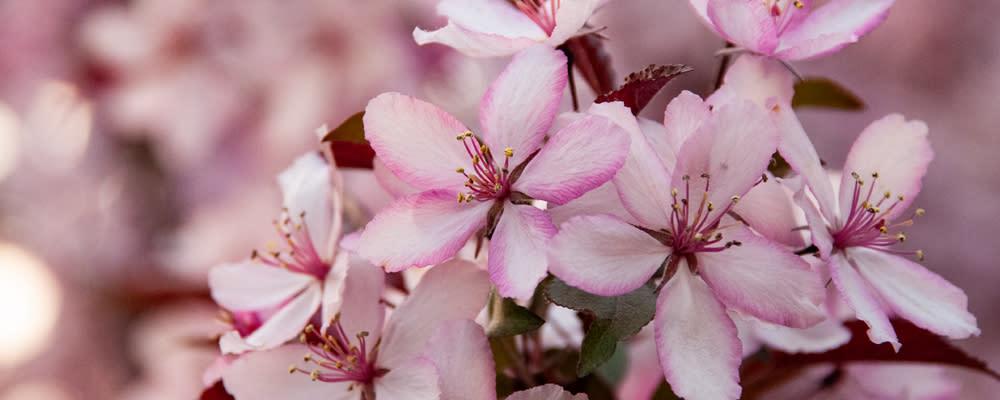 <div class='title'>           billboard photo cherry blossoms         </div>