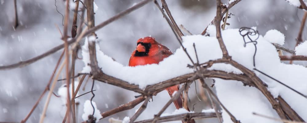 <div class='title'>           billboard photo winter cardinal         </div>