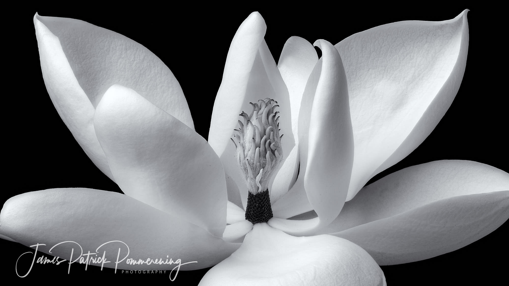 <div class='title'>           Open Magnolia Flower         </div>