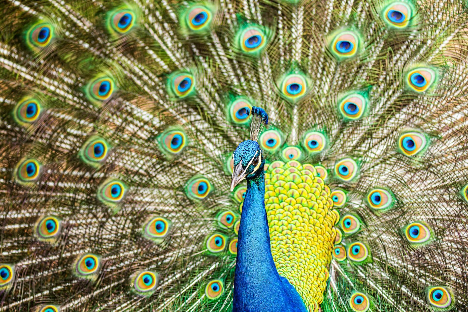 <div class='title'>           peacock 1mb         </div>