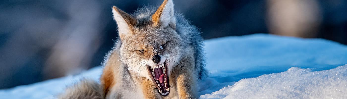 <div class='title'>           A Coyotes Wrath   954 HP2 Copy2         </div>