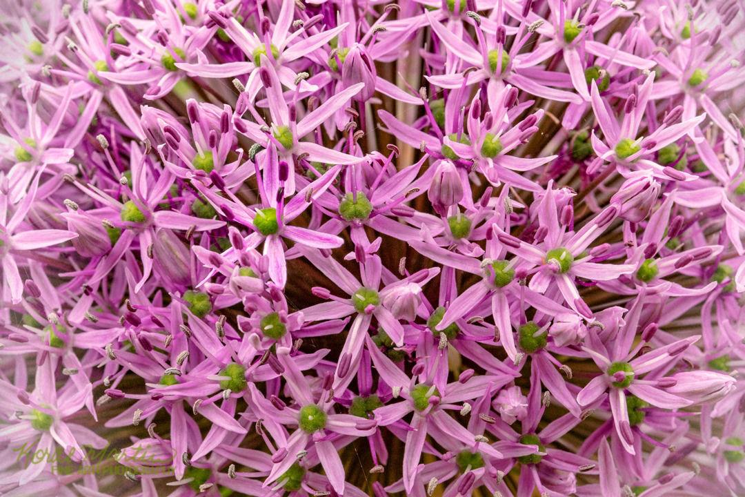 <div class='title'>           Allium 9320SBG19 KoralMartin         </div>