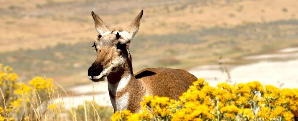 <div class='title'>           Antelope Yellow Scrub BB DS         </div>