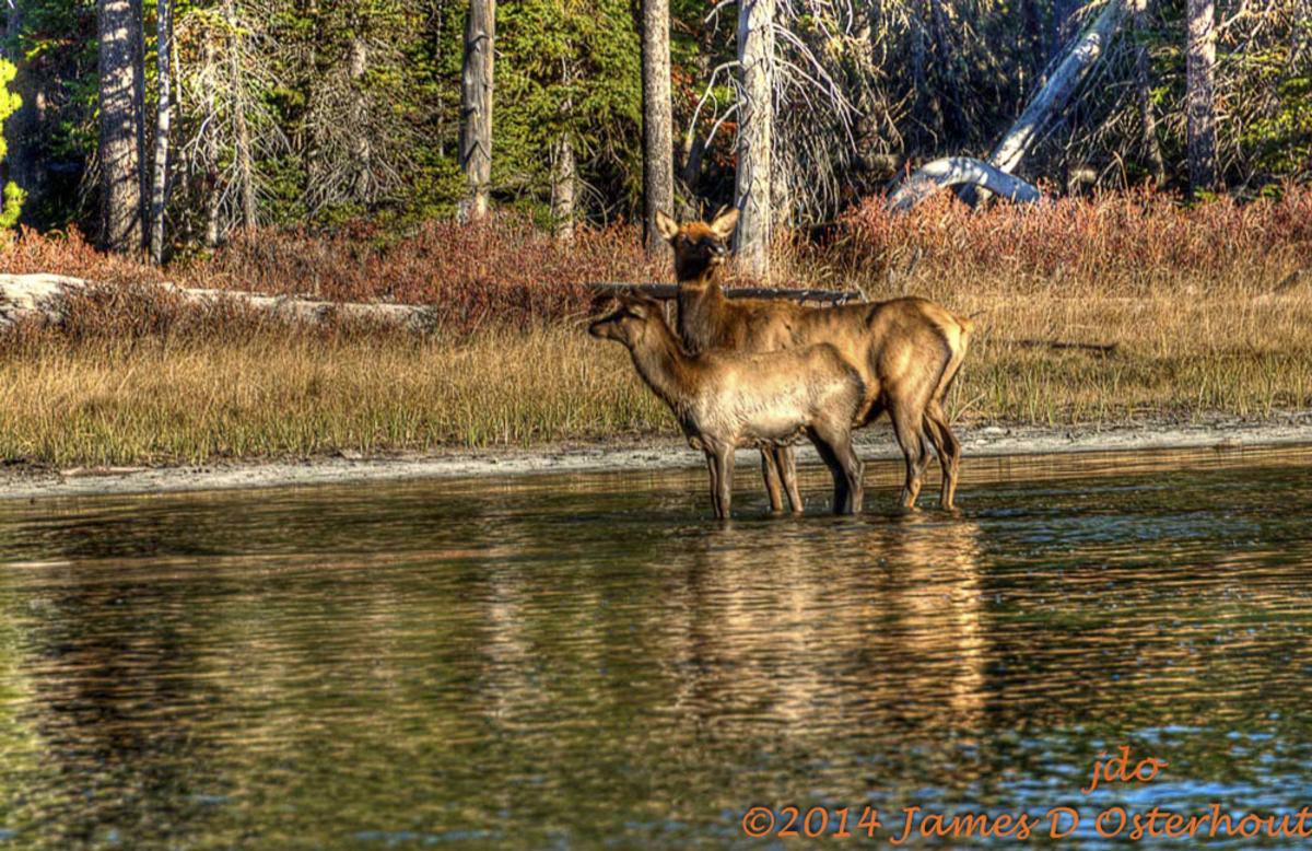 Elk_with_calf-_iqqy6c
