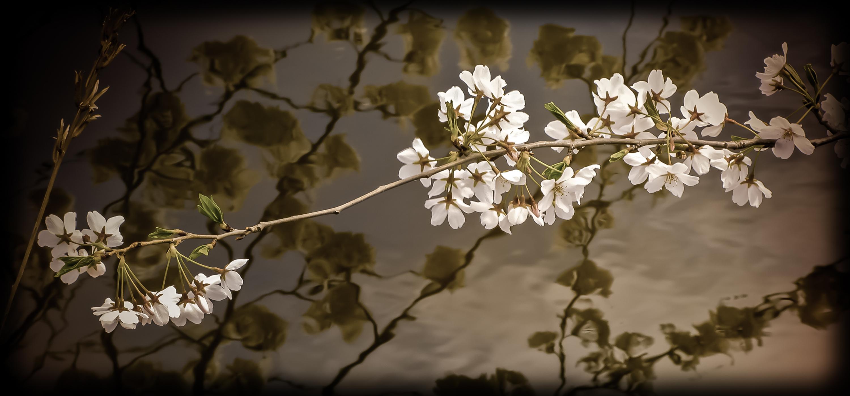 Cherry_blossoms_iaazju
