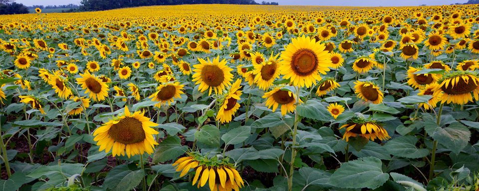 5390_sunflowers_field_3x7_evkpri
