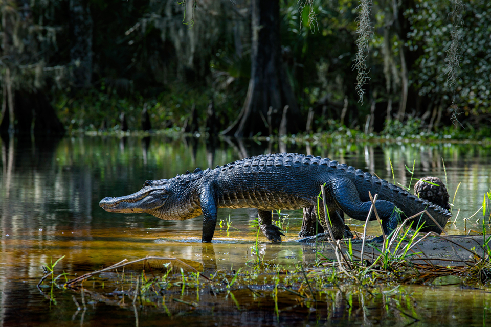 2515_gator_walking_fish_eating_creek_4x6_gl4ars