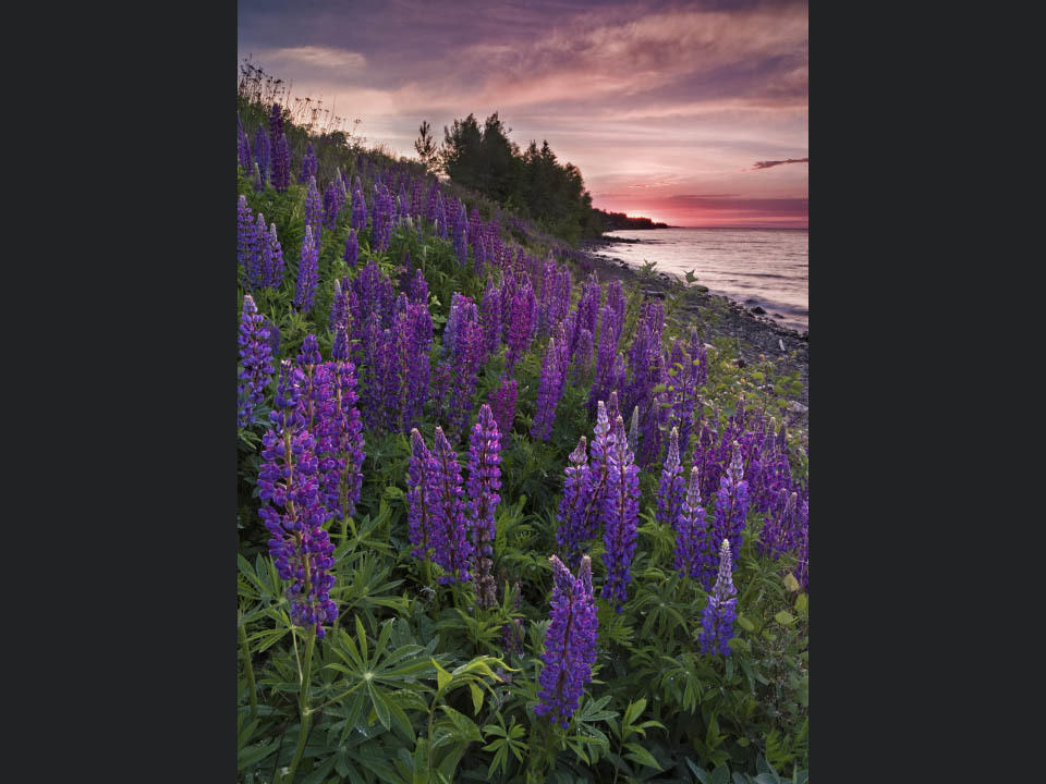 Lupines_on_fire_zzrfko
