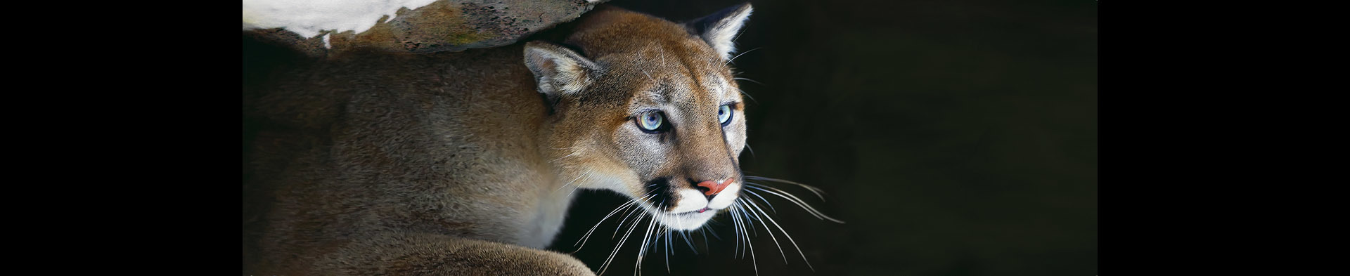 <div class='title'>           Puma         </div>                 <div class='description'>           Panoramic photo of a puma (cougar)         </div>